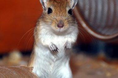 Gerbillo: tutto quello che devi sapere su questo piccolo roditore