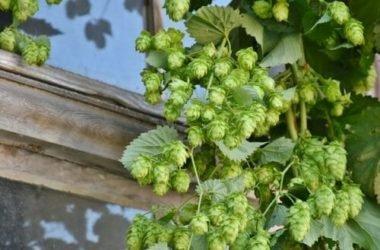 Il luppolo, quell'ingrediente noto per la birra, ma che vanta tante altre qualità