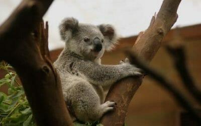 Koala: tutto quello che c'è da sapere su questo marsupiale noto per le sue dormite!