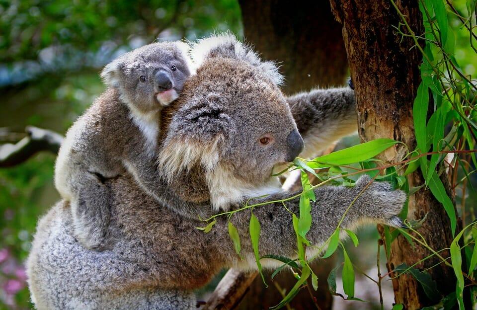 Photo of Koala: tutto quello che c'è da sapere su questo marsupiale noto per le sue dormite!