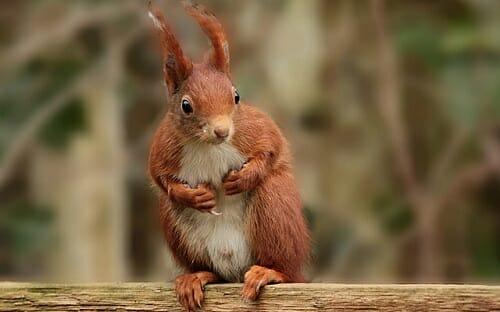 Scoiattolo tutto su questo piccolo e simpatico mammifero tuttogreen