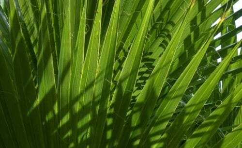 palma nana