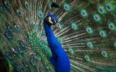 Pavone: quali sono le caratteristiche e le curiosità di questo animale dalla splendida coda colorata