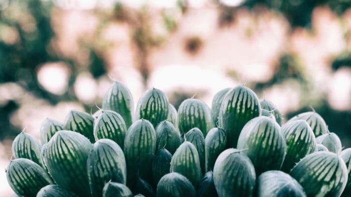 Haworthia: è un genere di piante succulente apprezzate soprattutto a scopo ornamentale.