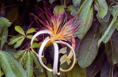 Pachira: aspetto e cura di questa pianta che possiamo coltivare nei nostri interni