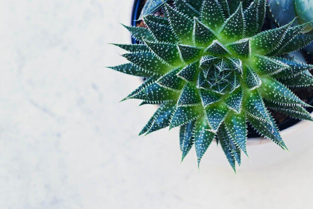 Photo of Haworthia: caratteristiche, varietà e cura delle piante succulente