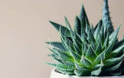 Haworthia: caratteristiche, varietà e cura delle piante succulente