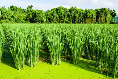 piante acquatiche: la zizania latifolia o aquatica