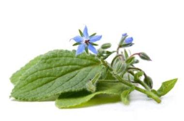 Borragine, tutto su questa pianta perenne dalle molte virtù