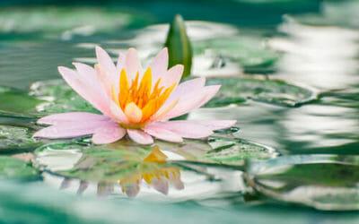 Piante galleggianti le migliori per uno stagno o un for Piante da laghetto ossigenanti