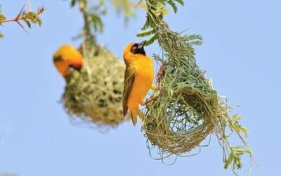 Uccelli tessitori: architetti senza laurea?