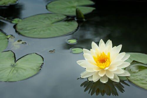 Photo of Fiore di loto: i consigli per la coltivazione e le altre cose da sapere