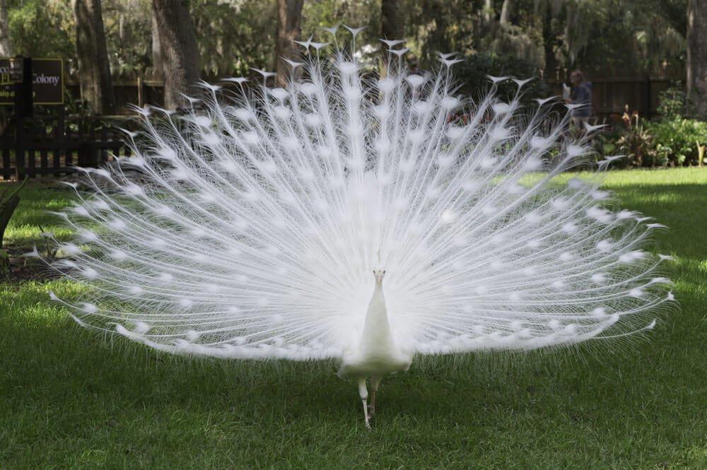 Photo of Pavone: quali sono le caratteristiche e le curiosità di questo animale dalla splendida coda colorata