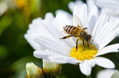Puntura ape: rimedi naturali e cosa fare