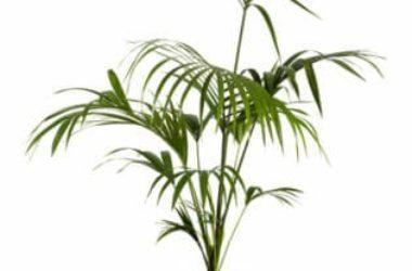 Kenzia: caratteristiche, aspetto e cura della palma sempreverde