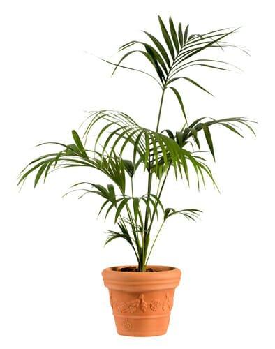 Photo of Kenzia: caratteristiche, aspetto e cura della palma sempreverde