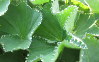 Alchemilla: una pianta ricca di proprietà utili in fitoterapia e non solo