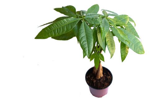 Pachira o pianta che porta i soldi i segreti di questa - Pachira pianta ...