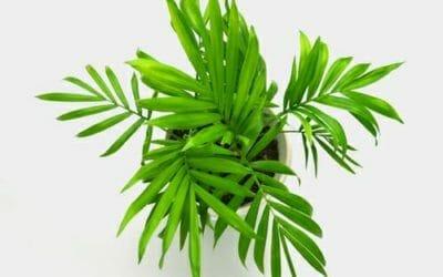 Palma nana: caratteristiche e accorgimenti per la cura di questa pianta da interni