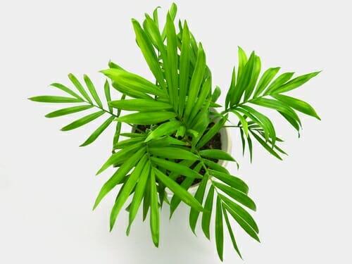 Photo of Palma nana: caratteristiche e accorgimenti per la cura di questa pianta da interni
