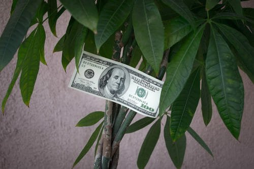 pachira pianta porta soldi
