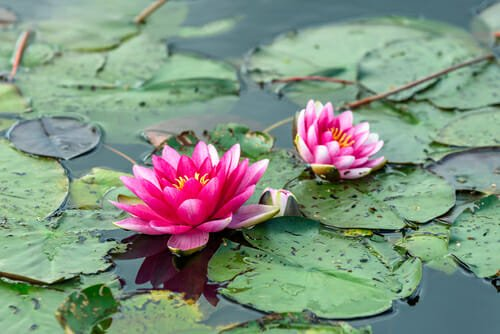 piante acquatiche ninfee