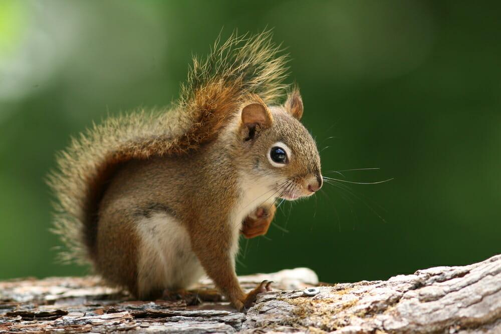 Photo of Scoiattolo: scopriamo questo piccolo mammifero adorato dai bambini, protagonista di cartoni animati e fumetti