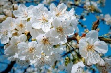 Ciliegio, tutto sull'albero dalla meravigliosa fioritura primaverile