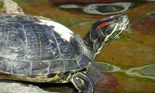 Photo of Tutto sulla tartaruga d'acqua: le diverse specie e le regole per averne cura