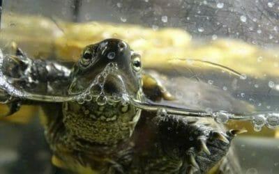 Tutto sulla tartaruga d'acqua: le diverse specie e le regole per averne cura