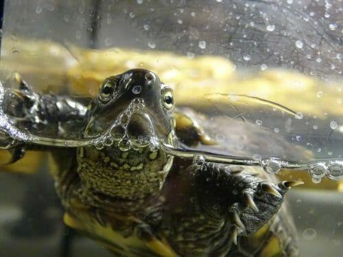 Tartaruga d 39 acqua specie habitat e cure per questi for Tartaruga da giardino