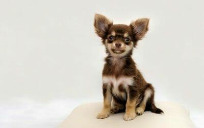 Quali sono i cani di piccola taglia: caratteristiche e specificità