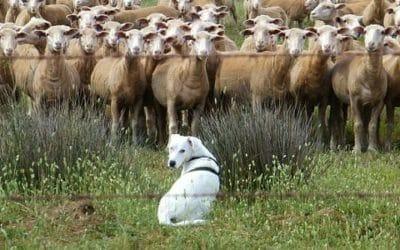 Guida ai cani da pastore: l'elenco delle razze e i loro tratti distintivi