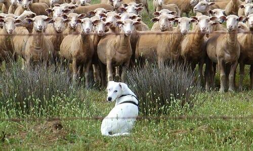cani pastori