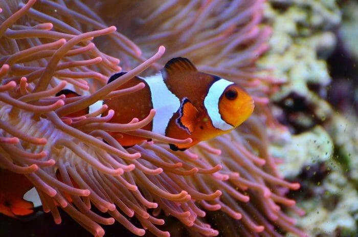 Pesce Pagliaccio E Anemone.Pesce Pagliaccio Tutto Quello Che C E Da Sapere Su Nemo