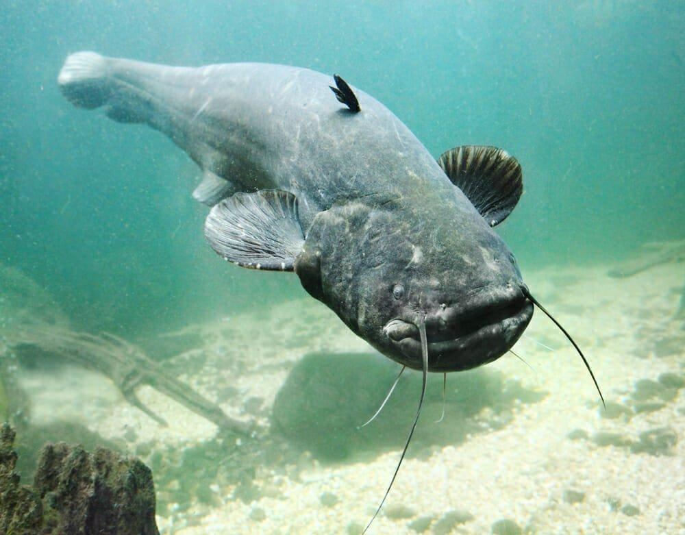 Photo of Pesce gatto: tutto quello che c'è da sapere sul pesce coi baffi