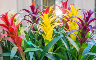 Bromelia: i colori incredibili di questo genere di pianta da appartamento