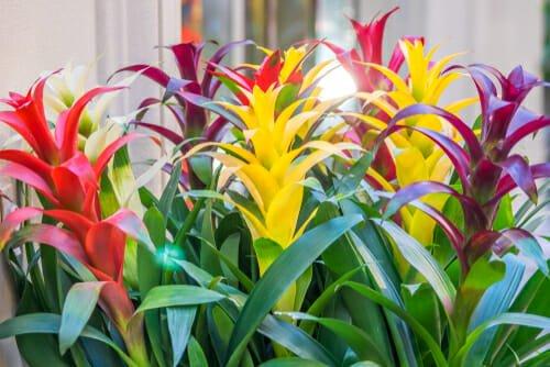 Photo of Bromelia: i colori incredibili di questo genere di pianta da appartamento