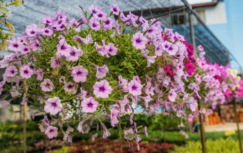 fiori da balcone petunie