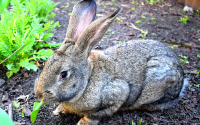 Il coniglio gigante: quello che c'è da sapere su questo coniglio davvero oversize