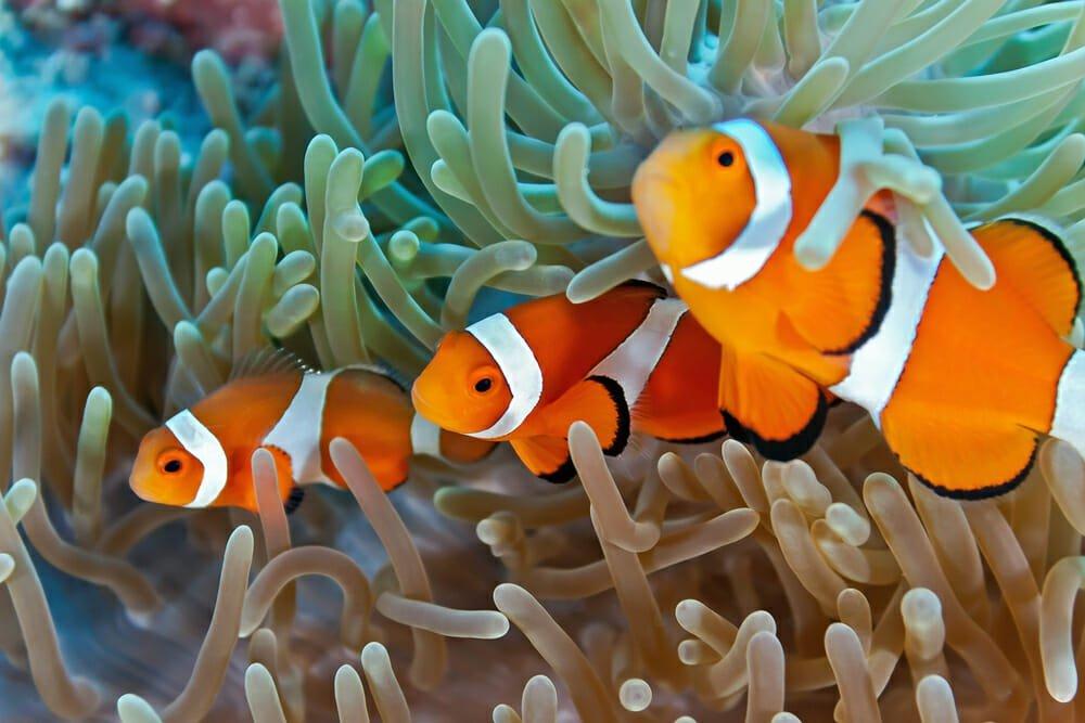 Photo of Pesce pagliaccio: scopriamo il famoso Nemo di Disney, che vive in simbiosi con l'anemone