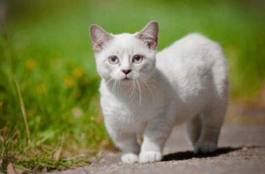 Il gatto più piccolo del Mondo è di razza Munchkin: conosciamolo meglio