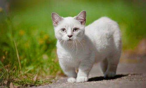 Photo of Il gatto più piccolo del Mondo è di razza Munchkin: conosciamolo meglio