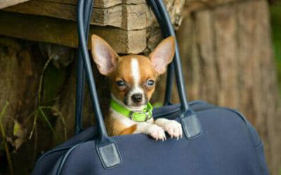 Cani Toy Razze Caratteristiche Malattie Cure E Prezzo Tuttogreen