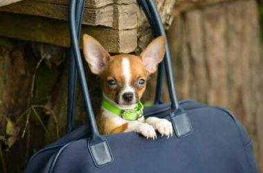 Quello che bisogna sapere su cani toy, compagni di vita fragili e bisognosi di cure, non un capriccio da star!