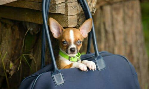 Photo of Quello che bisogna sapere su cani toy, compagni di vita fragili e bisognosi di cure, non un capriccio da star!