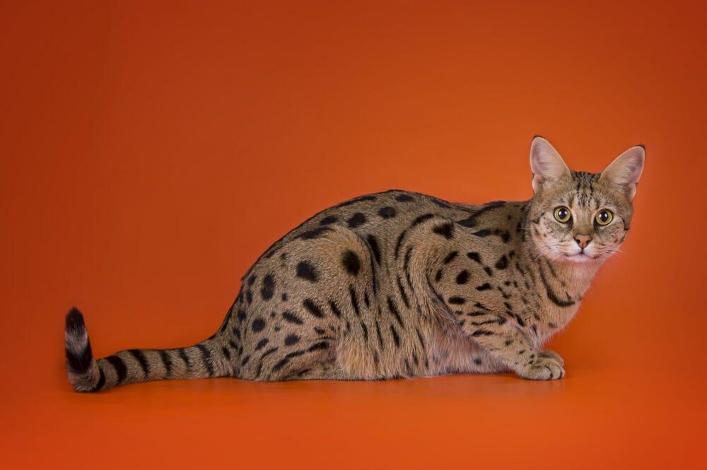 Photo of Gatti giganti: quali sono le razze più famose e di quali cure hanno bisogno