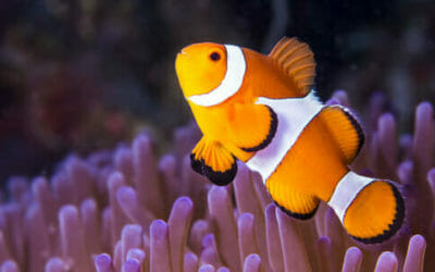 Pesce pagliaccio tutto quello che c 39 da sapere su nemo for Immagini di pesci disegnati