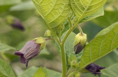 Cose da sapere e utilizzi della belladonna, pianta velenosa che può essere perfino mortale