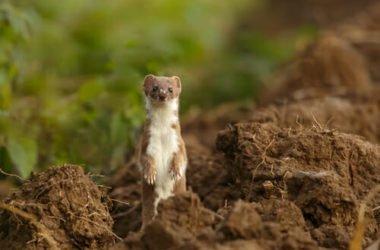 Donnola: tutto quello che c'è da sapere su questo piccolo mammifero